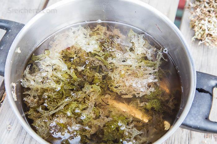 Moos, welches in Backpulver eingeweicht und danach gekocht wurde