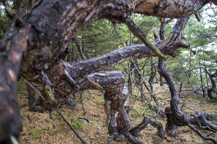 Von Wind und kargem Boden geformt - Kiefern im Trollskogen