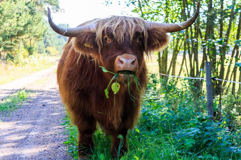 Ein Highland-Bulle auf Jurmo stellt sich uns in den Weg. ISO 200, 1/100 s., Blende 5.6, Blitzen hab ich mich nicht getraut.