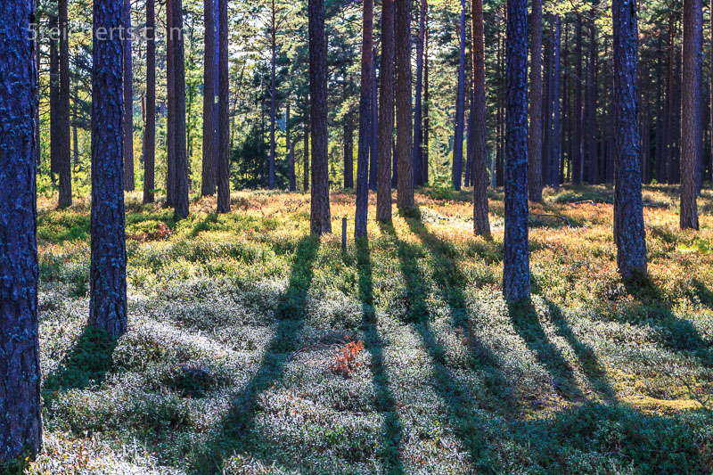 Kiefernwald auf Öland im Nachmittagslicht. ISO 200, 1/100 s. Blnede 7.1
