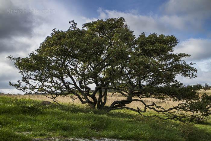Ein Baum auf Bornholm