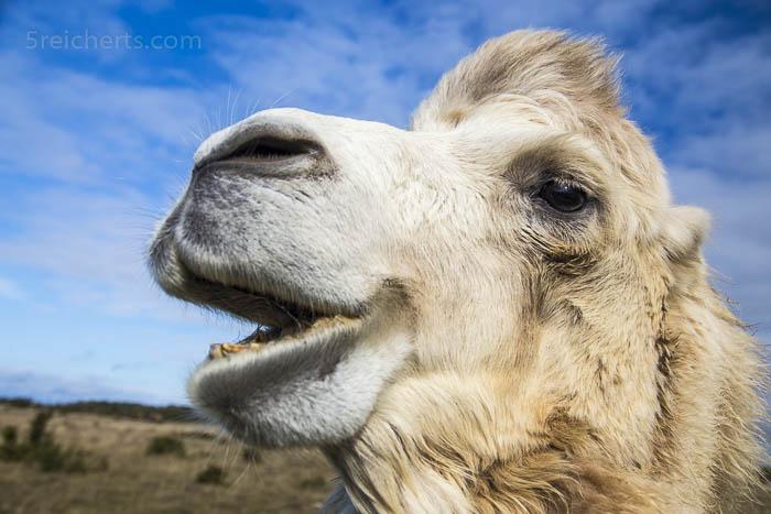 Kamel auf Öland