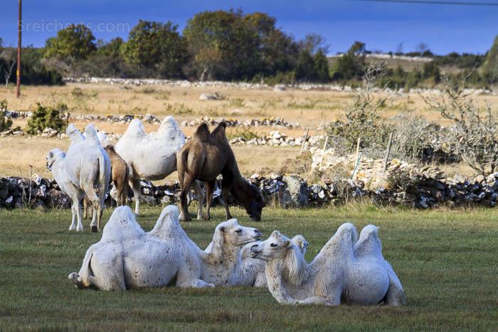Kamele auf Öland