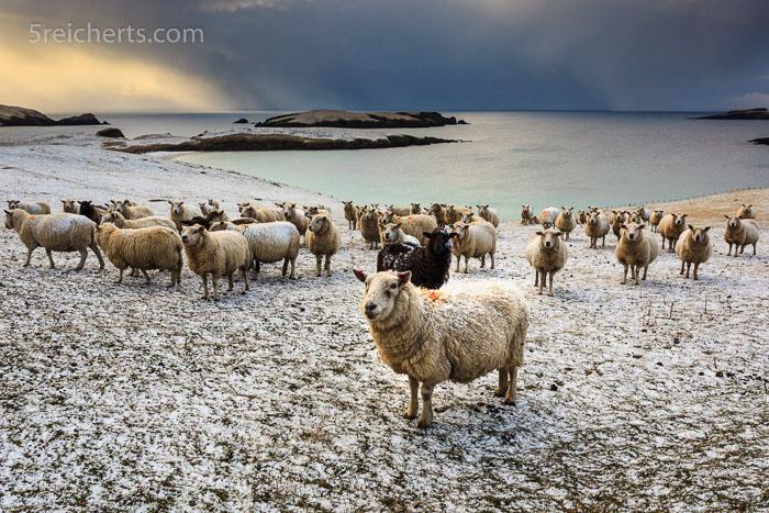 Schafe auf Shetland, nach dem Schneesturm