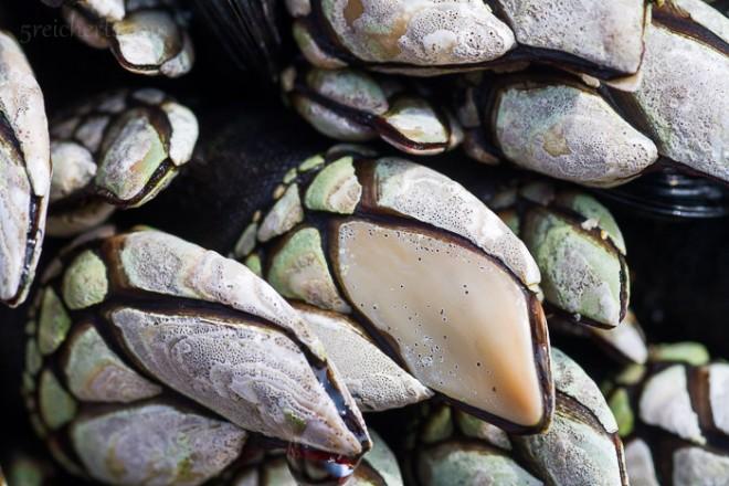 Entenmuscheln am Strand von Donnant