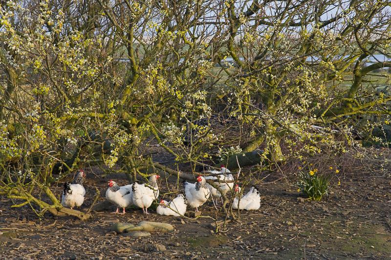 Hühner in Freilandhaltung, Normandie, Frankreich