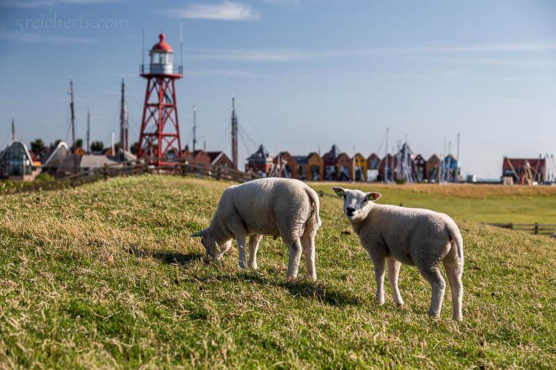 Schafe und Leuchtturm von Stavoren