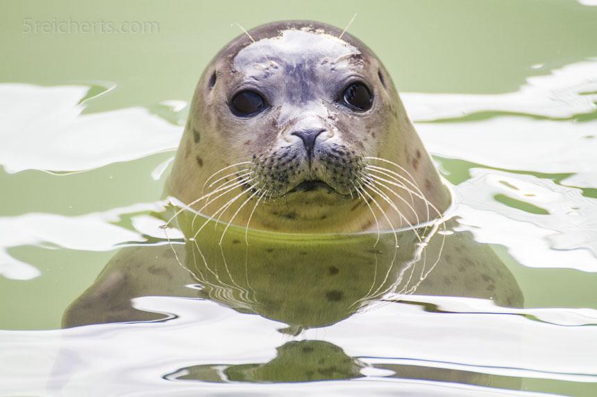 junger Seehund, der aufgepäppekt wird