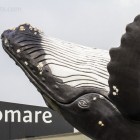 Ecomare und Buckelwal