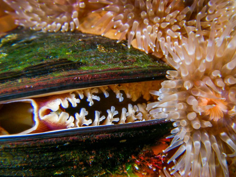 Diese Muschel wurde mit einer tauchfähigen Kompaktkamera unterwasser fotografiert. Die Aufnahmen lassen sich in guter Qualität bis ca. 40x60 cm printen