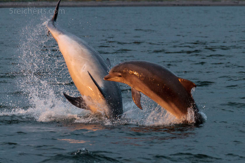 Delfine, Channonry Point, Schottland