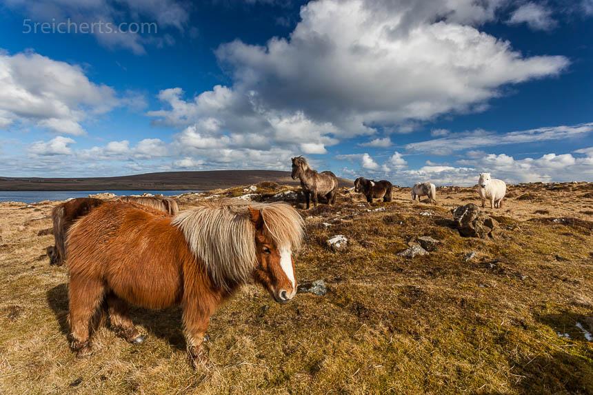 Die wilden Ponies auf den Shetland Inseln wirken im Vorderlicht ganz putzig. EIn harmonisches Motiv.