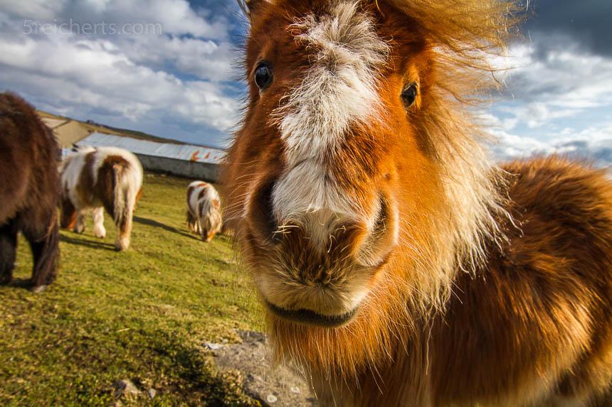 Nahe dran. Hier haben wir dem Pony buchstäblich die Kamera an die Nüstern gehalten. Die Wirkung ist viel intensiver, die Persönlichkeit des Pferdes kommt wunderbar rüber.