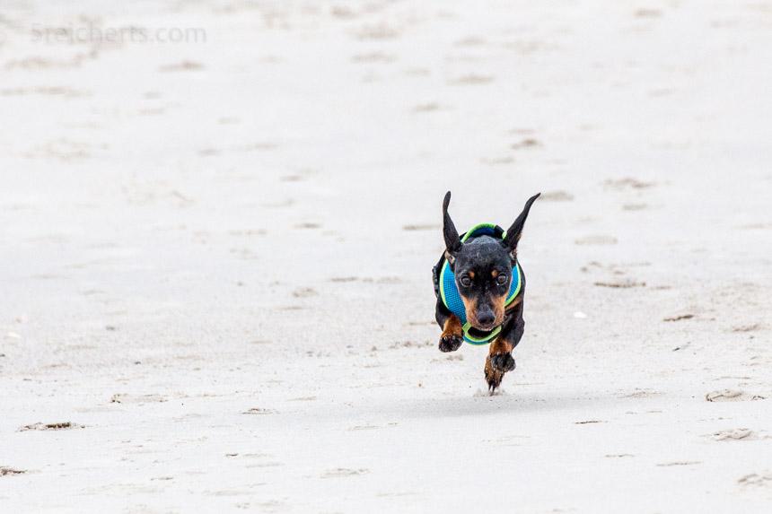 Grindel flitzt über den Strand