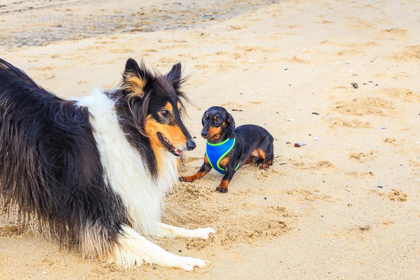 Auch mit großen Hunden spielt Grindel gern