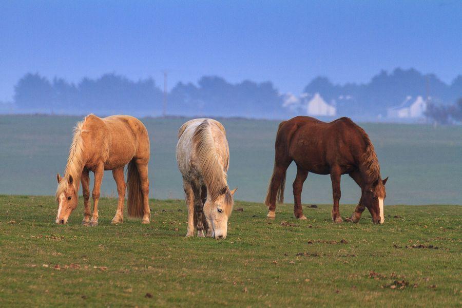 Die Pferde auf der Belle-Ile, mit dem Tele aufgenommen, heben sich wegen der geringen Schärfentiefe plastisch vom Hintergrund ab.