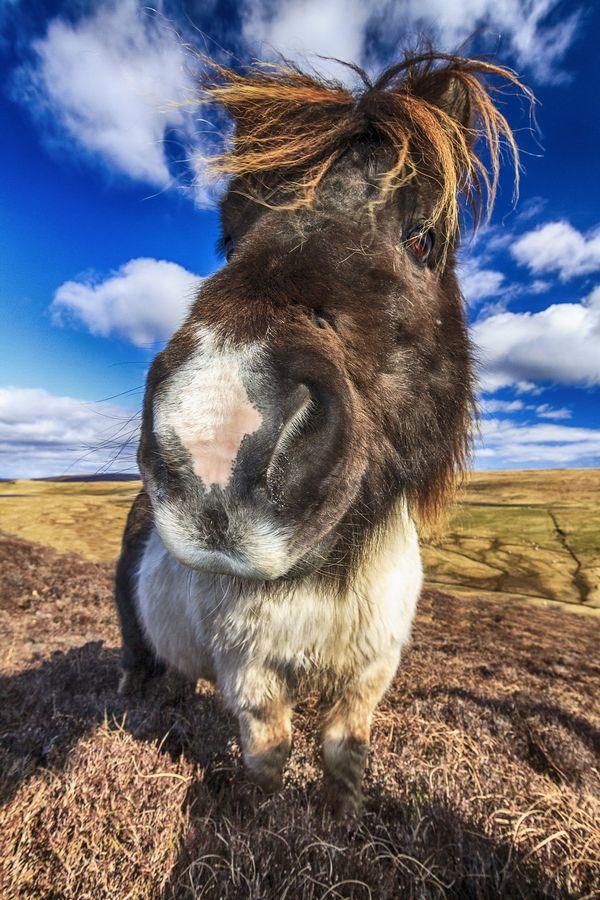 Das Shetland Pony wurde mit 11mm Weitwinkel bei blende f/8 und mit Aufhellblitz fotografiert.