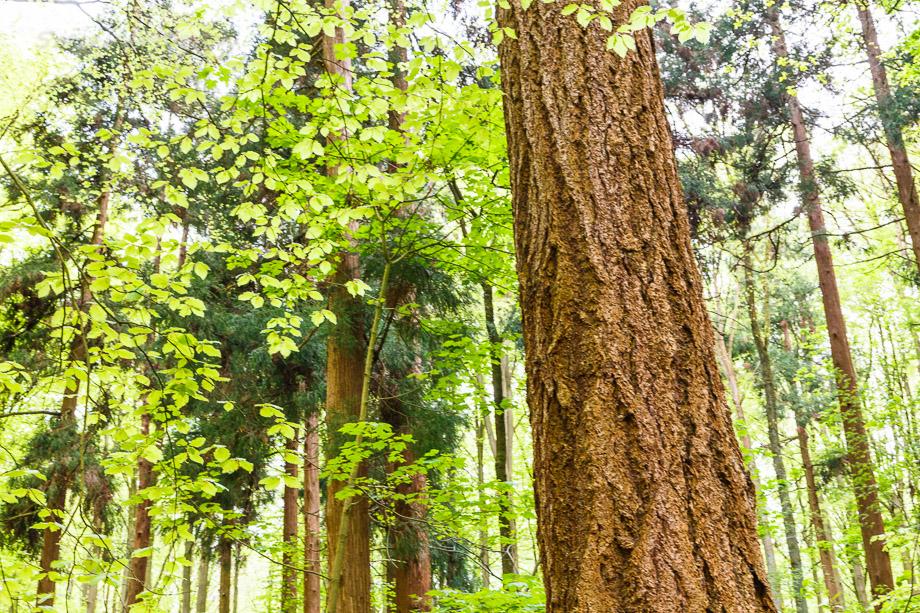 Urige Bäume im Hallerbos