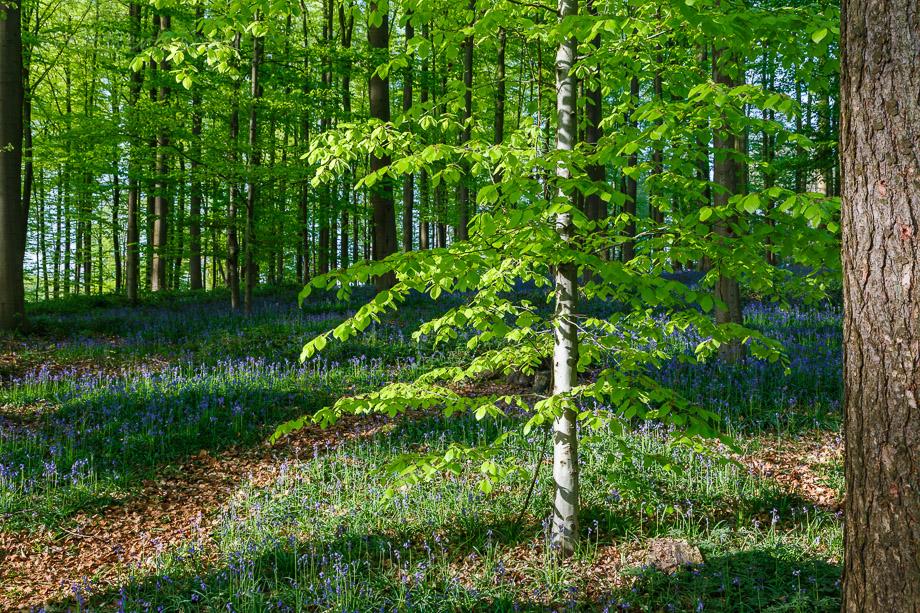 Kleiner Baum im Hallerbos