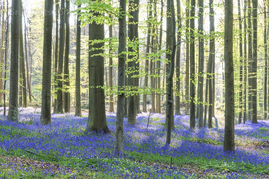 luftig, frischer Wald mit blauen Hasenglöckchen
