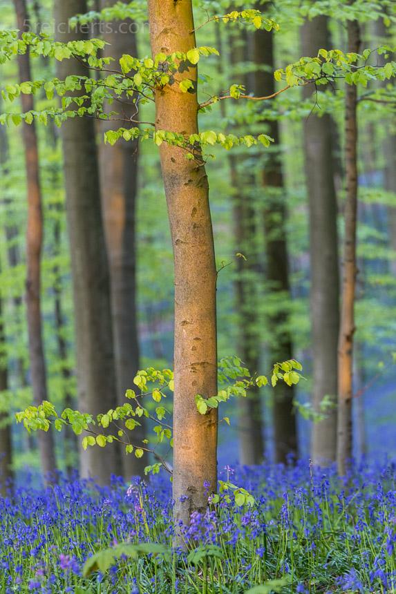 frische Grün vor strahlendem Blog, Hallebos