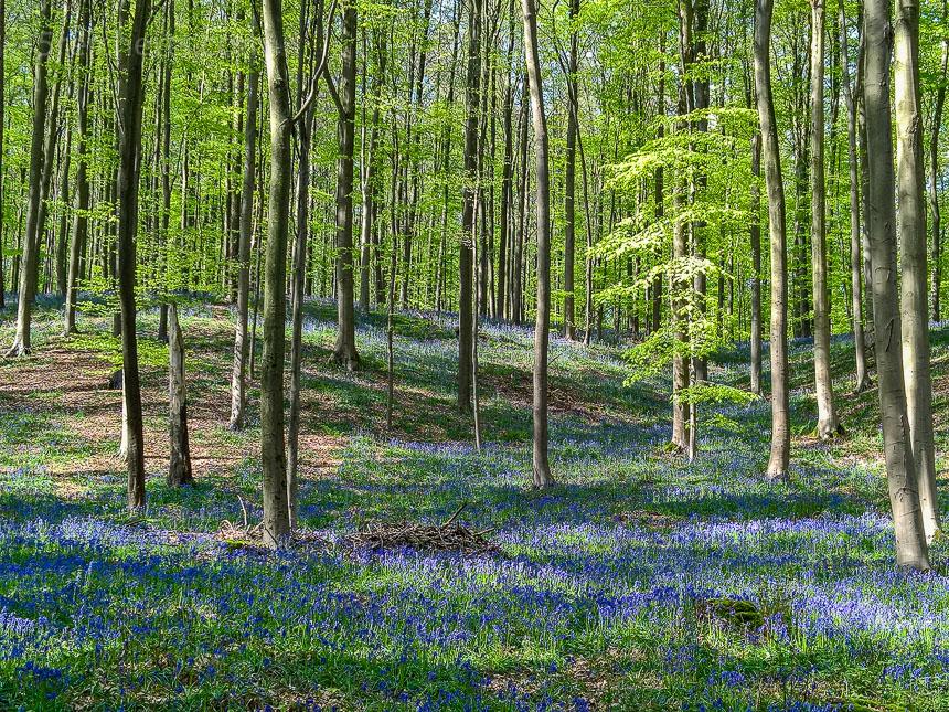Blaue Blüten in Hallerbos, Belgien