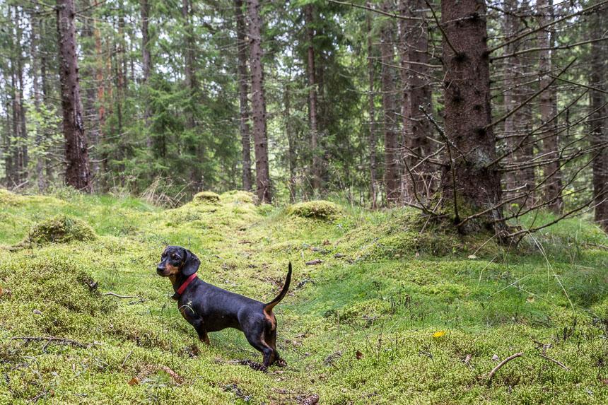 glückliche Grindel im Wald