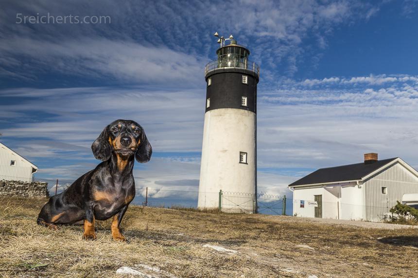 Dackel Grindel beim Hoburg Leuchtturm, Gotland, Schweden