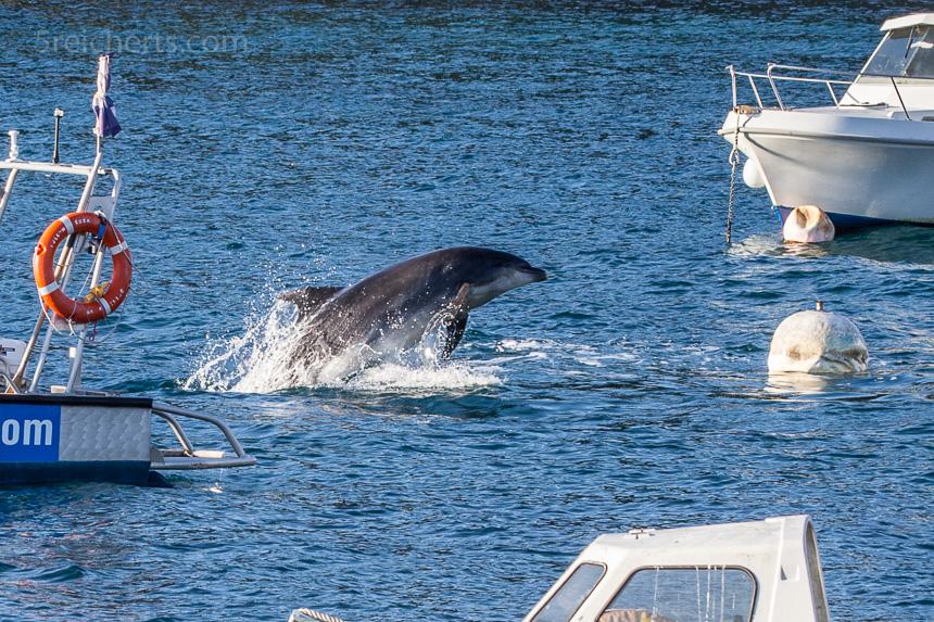 Springender Delfin im Hafen