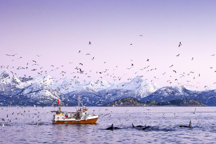 Naturfotografie macht glücklich - Orcas im norwegischen Winter