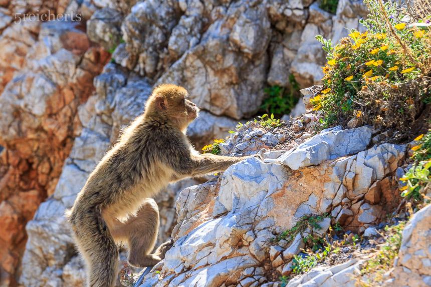Berberaffen, Gibraltar