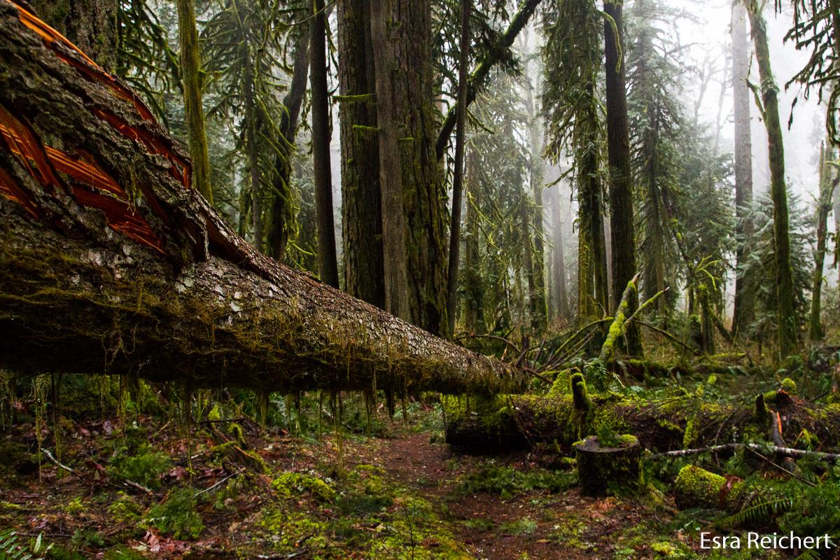 Ein umgestürzter Baum auf dem Wanderweg.