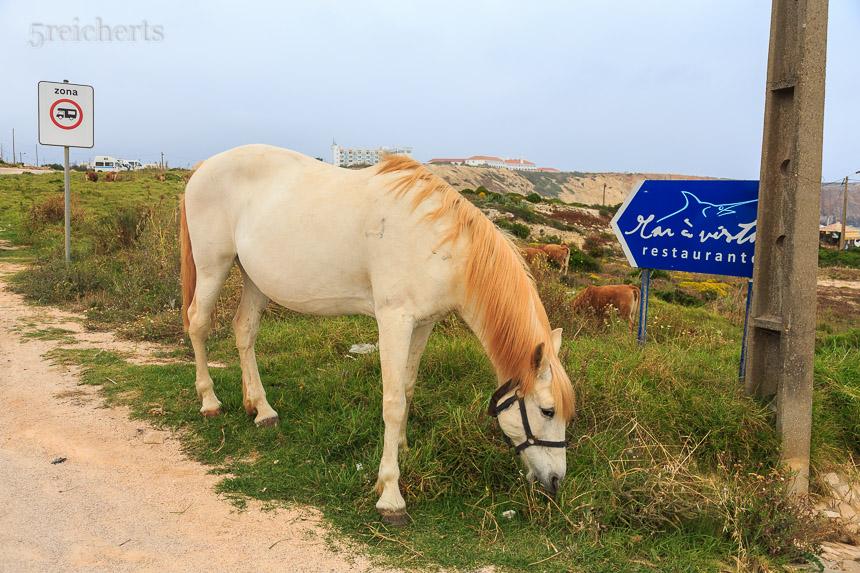Mehrere Pferde und eine Kuhherde laufen frei in Sagres herum