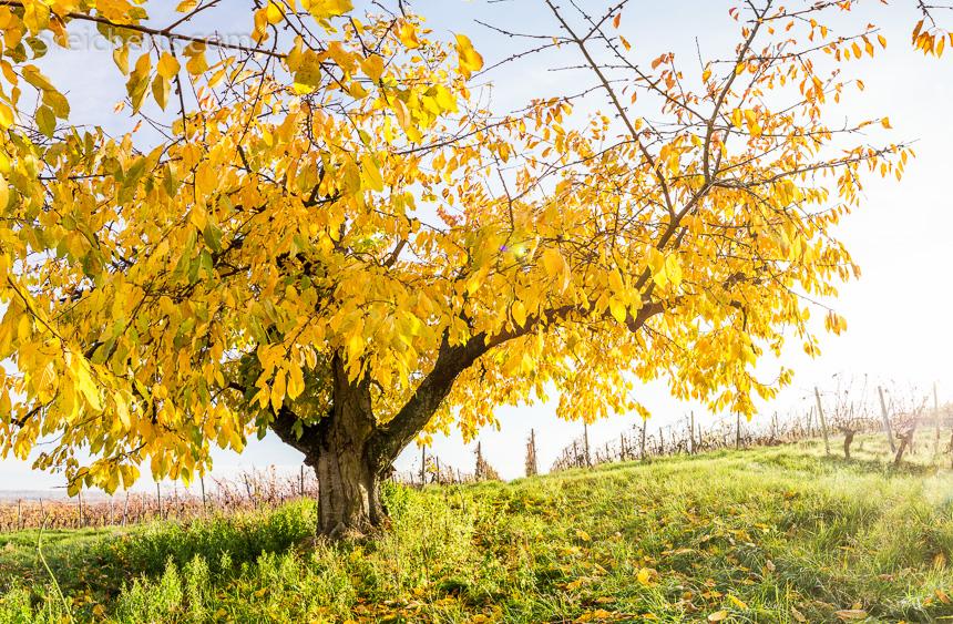Kirschbaum im Herbst