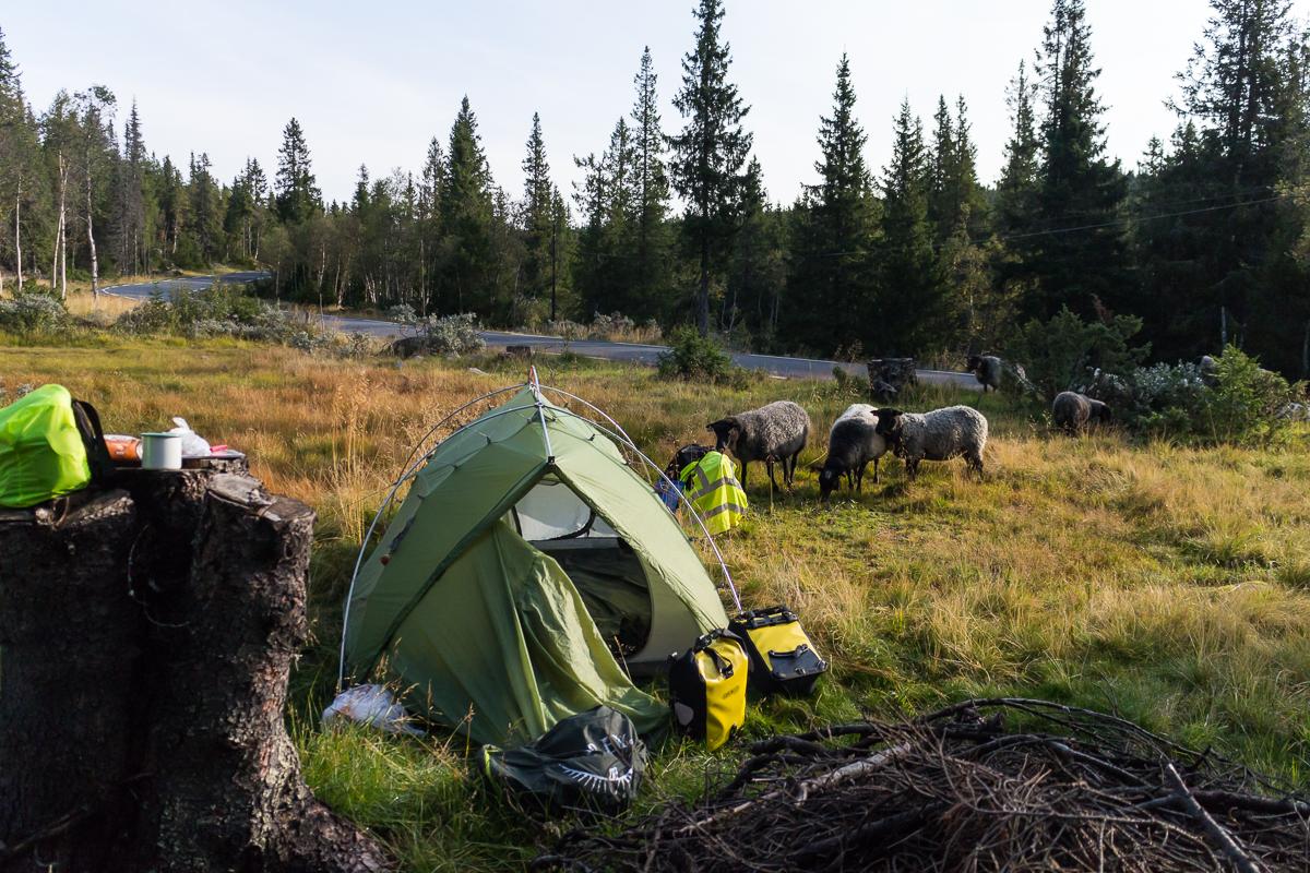 Neugierige Schafe an meinem Zelt.