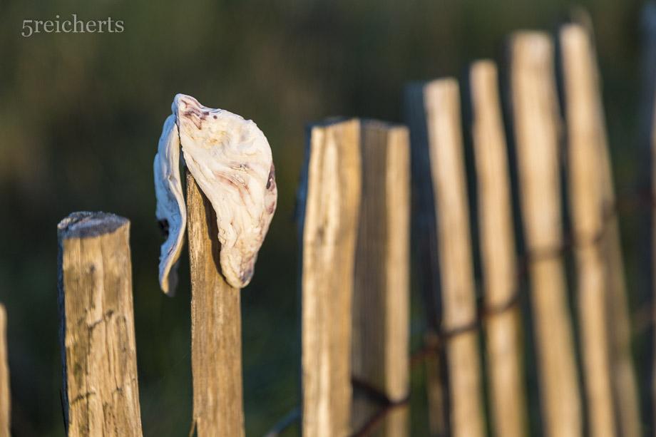 Austernschale auf dem Zaun, Locmariaquer