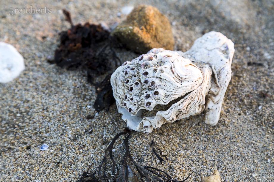 Auster mit Seepocken, Locmariaquer