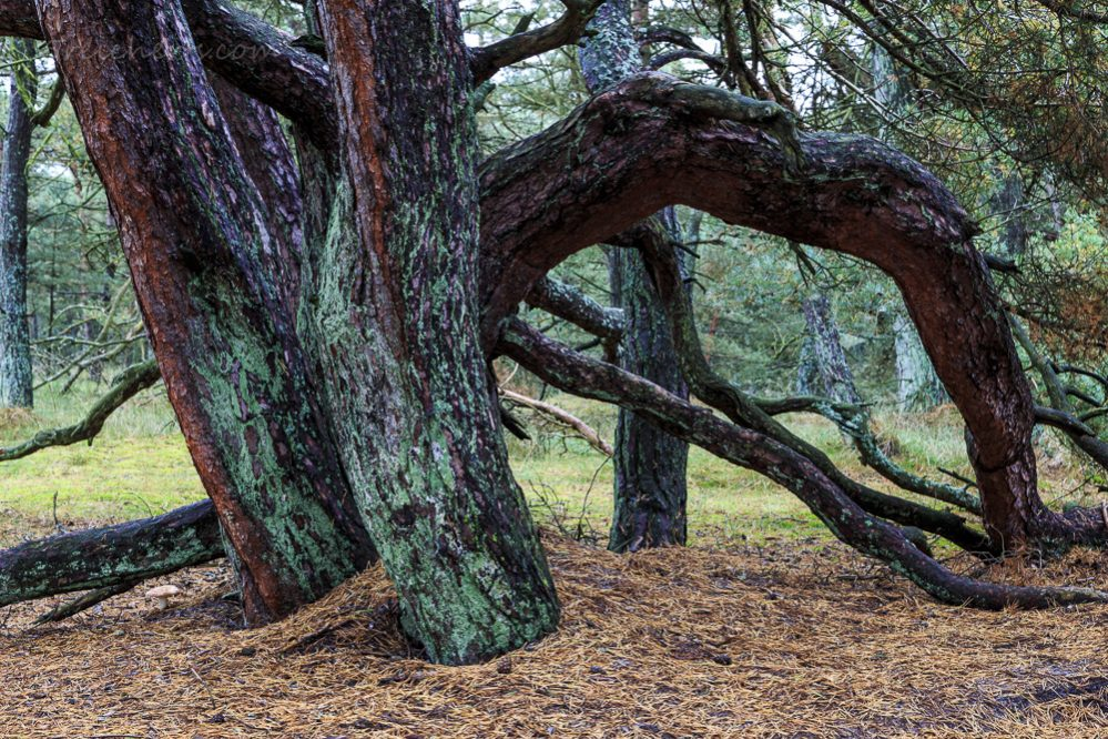 Küstenbaum, Bornholm