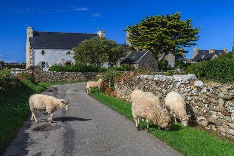Schafe auf der Straße, Ouessant, Bretagne