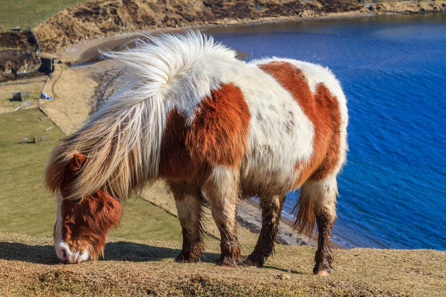 Shetland Pony, Mainland, Shetland, Schottland