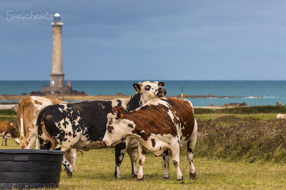 Kühe vorm Leuchtturm, Kap de la Hague
