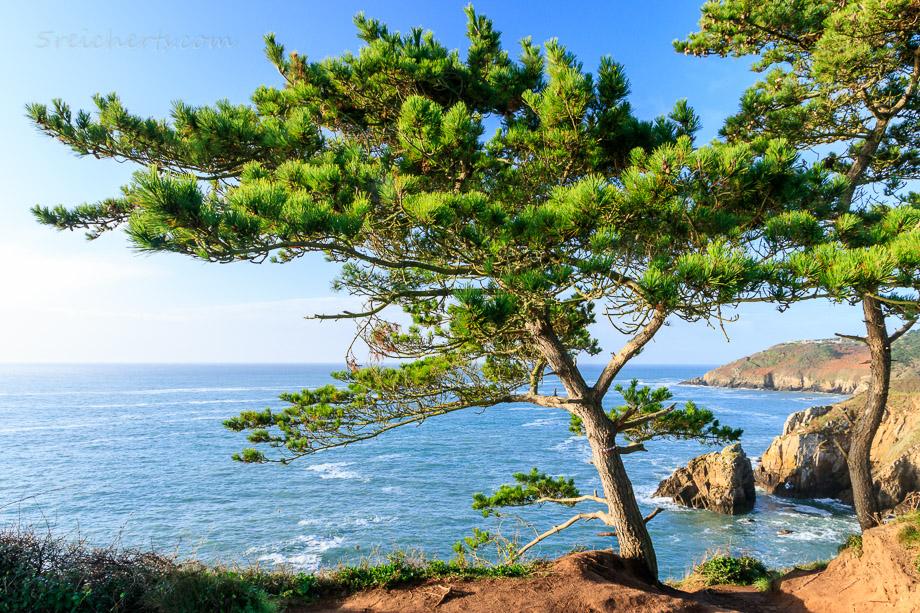 Küstenbaum, Bertheaume, Bretagne