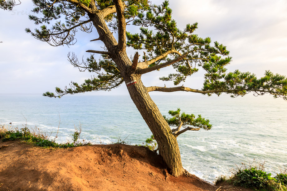 Baum an der Küste, Fort Bertheaume