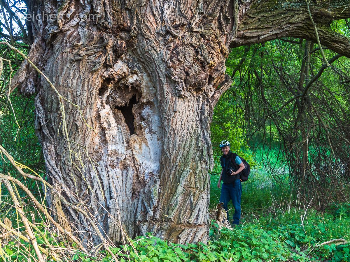 Alter fetter Baum