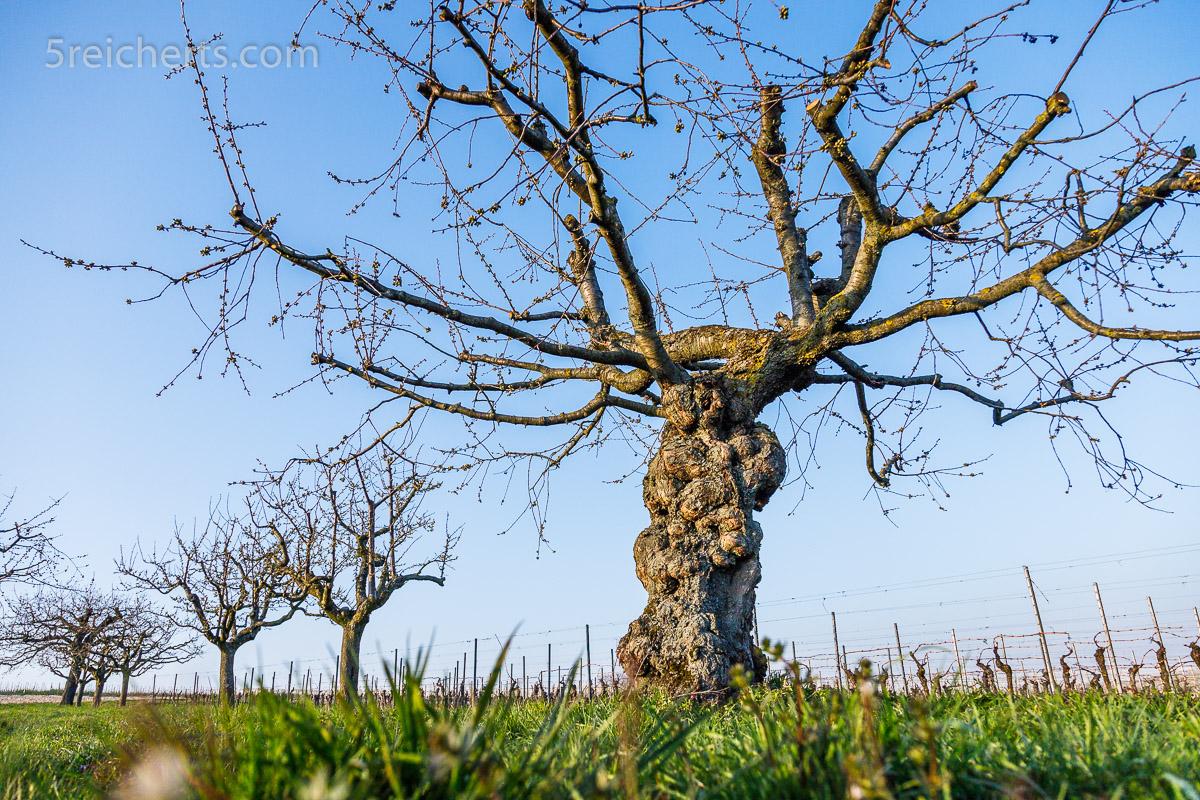 Knorriger Kirschbaum im März