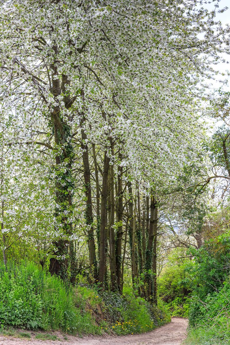 Hohlweg mit blühenden Bäumen