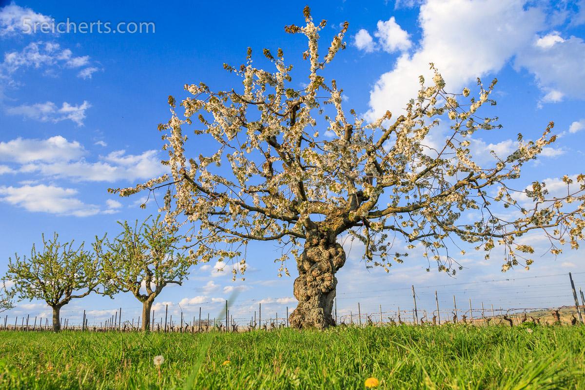 Knorriger Kirschbaum in der Blüte