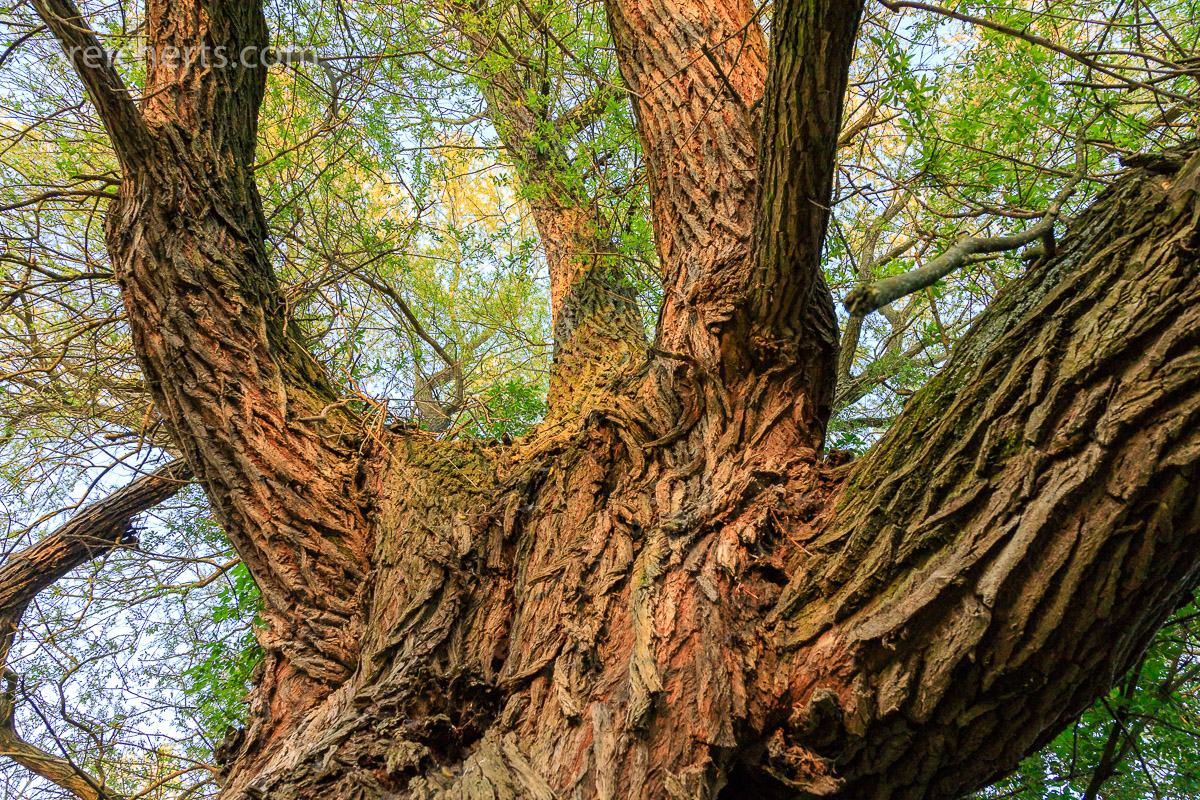gigantischer Weidenbaum im ruhigen Tal