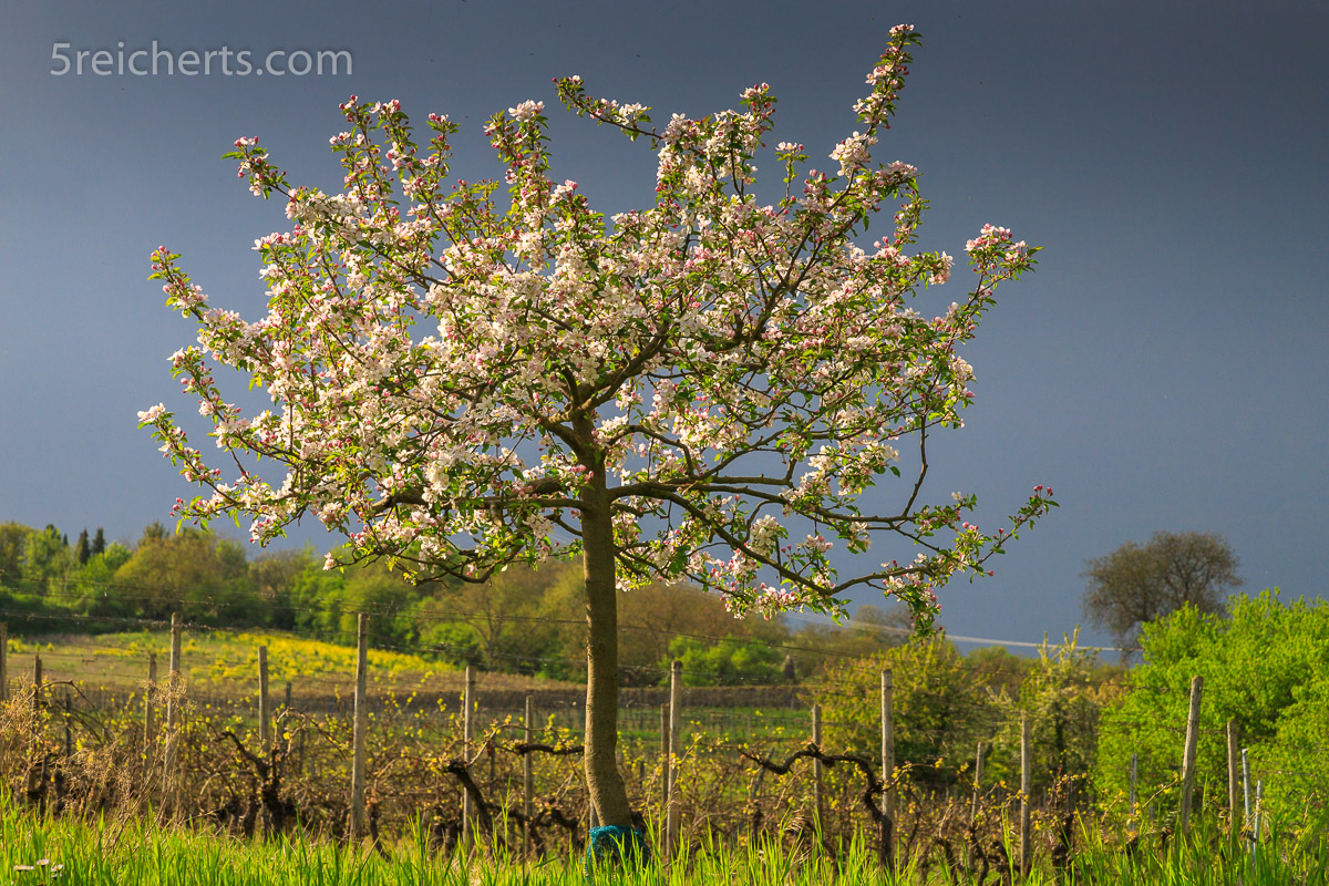Junger Apfelbaum vor der Regenfront