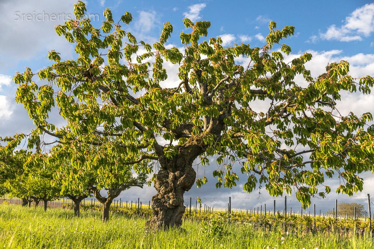 Knorriger Kirschbaum nach der Blüte